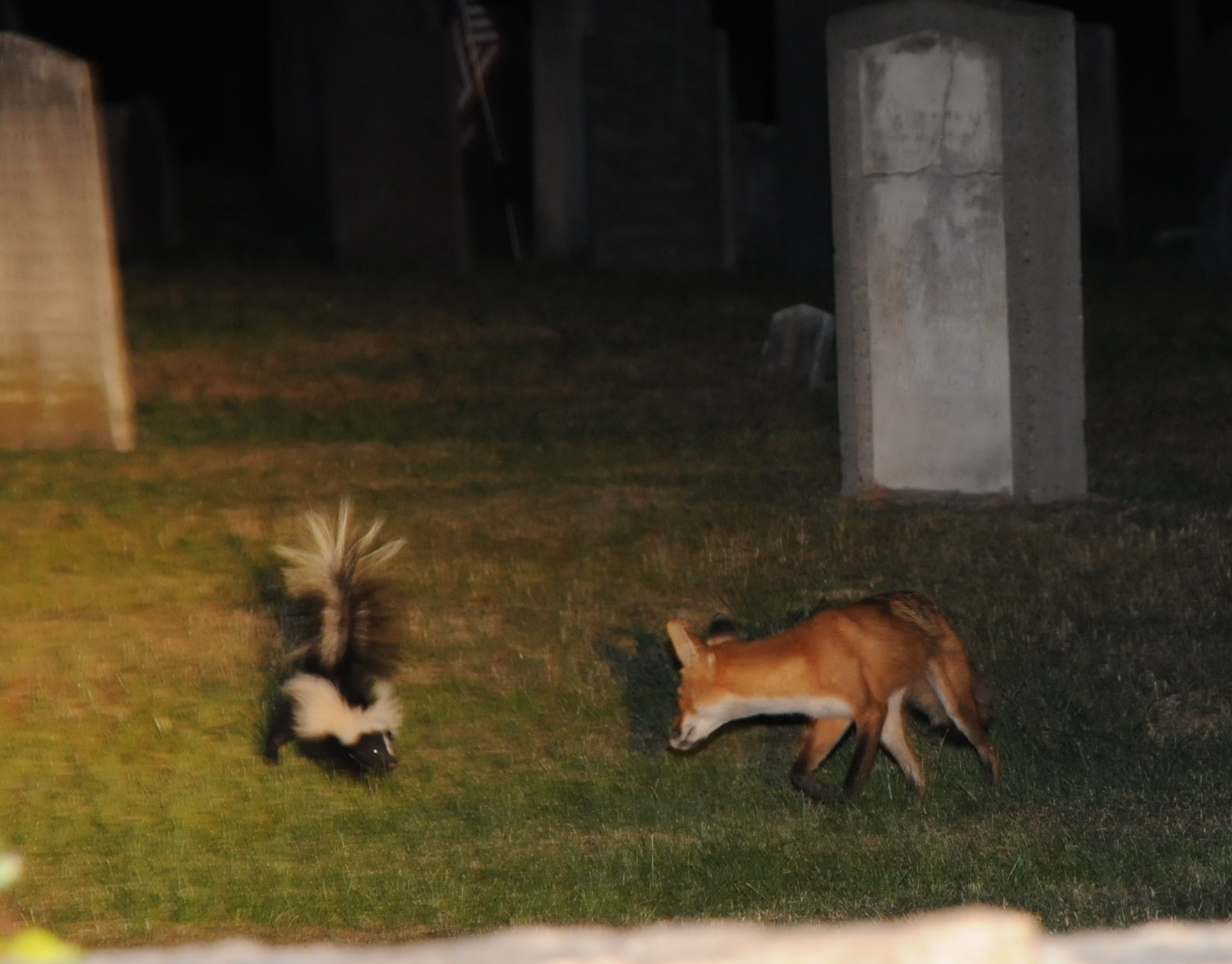 skunk vs fox wellesley ma