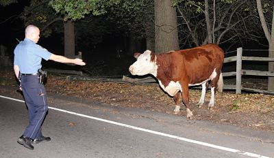 Wellesley MA cow escapes, tamed by police officer