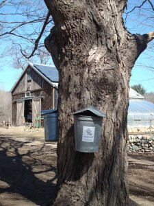 Sap buckets hanging at NCOF credit Trish Wesley Umbrell_opt