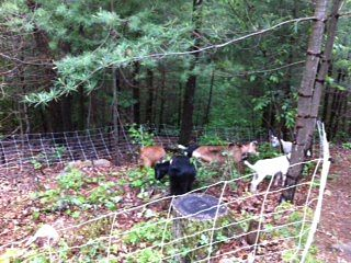goats in Wellesley