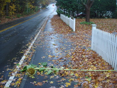 Hurricane Sandy, Sunflower, Weston Road Wellesley MA