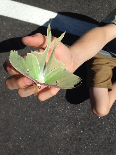 Luna Moth, New Hampshire, 2014, July