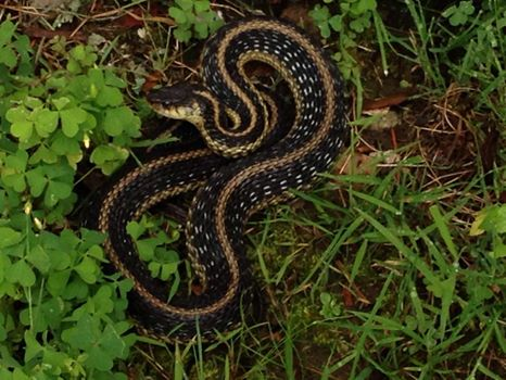 Garter Snake july 2014, wellesley