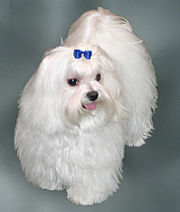 Photo of a maltese (this is not the actual dog that is lost)