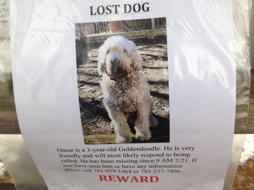 missing goldendoodle
