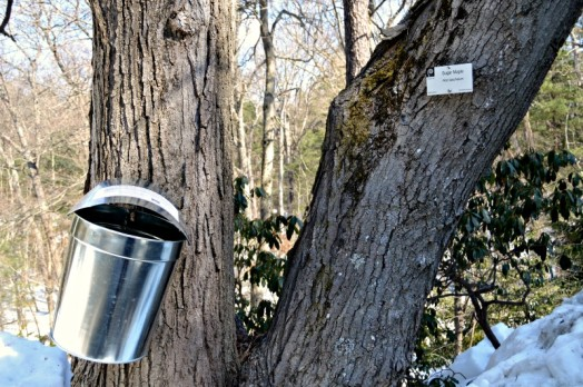 Sap collecting from a sugar maple on the Wellesley College campus.