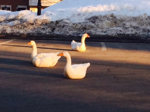 town hall geese march 2015