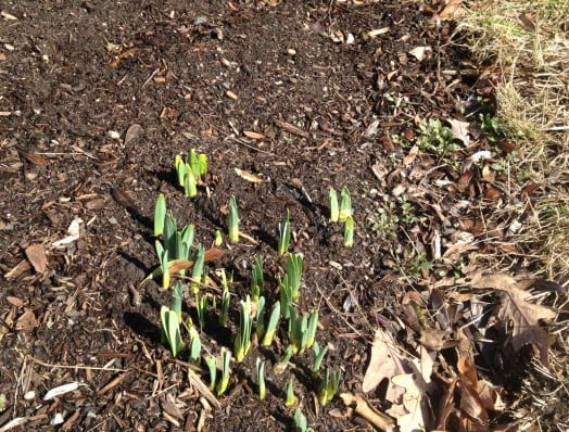 These daffodils are poking up with an enthusiasm for February that I wish I could match.