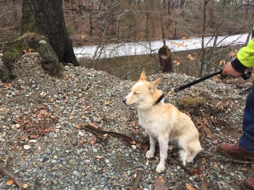 dog charles river rescue
