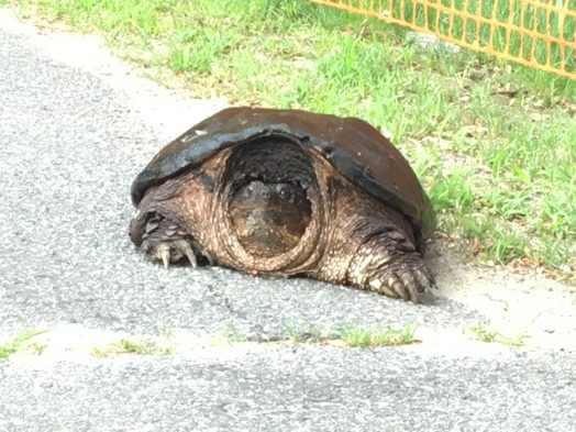 snapping turtle wellesley
