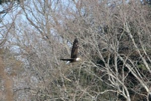 bald eagle reeds pond wellesley ma