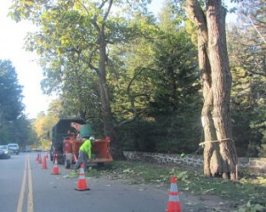 Wellesley Catalpa trees getting cut down october 2012