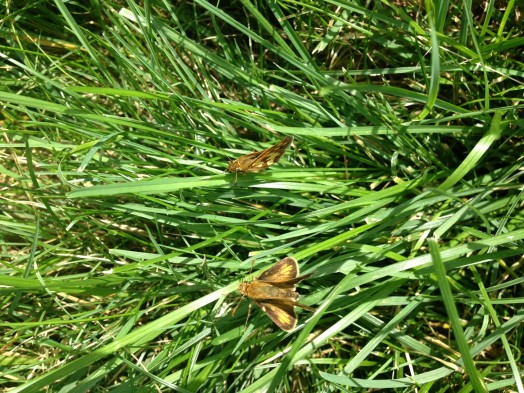 Hobomok Skippers Wellesley MA Aug 2013