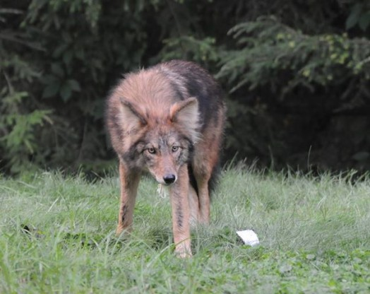 Photo by Wellesley Police of coyote among us