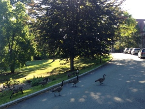 Town Hall Canada Geese