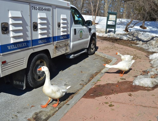 The town geese are seriously ticked off at Animal Control Officer Sue Webb's truck.