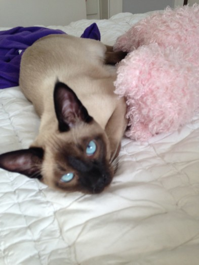 lost siamese cat wellesley
