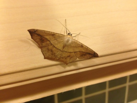 Prochoerodes lineola – Large Maple Spanworm Moth wellesley august 2015
