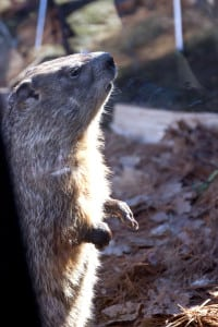 Ms. G., Massachusetts State Groundhog