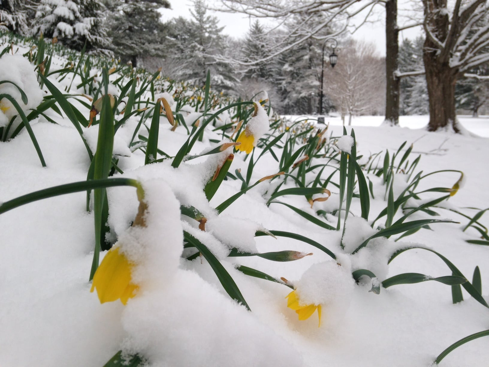 Wellesley College, Daffodil Hill, Spring 2016 snow storm