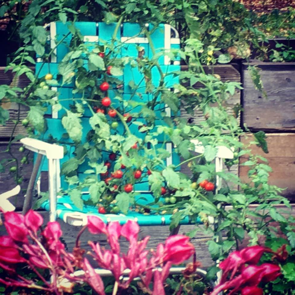 Cherry tomatoes, relaxing on a lawn chair at Brookside Community Gardens.