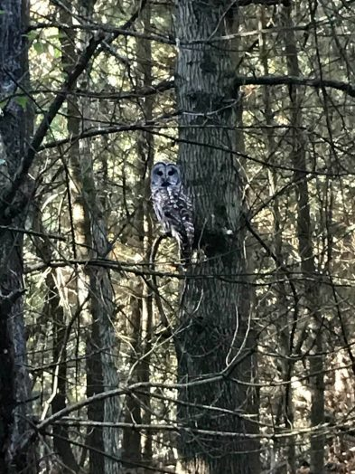Owl at Morses Pond