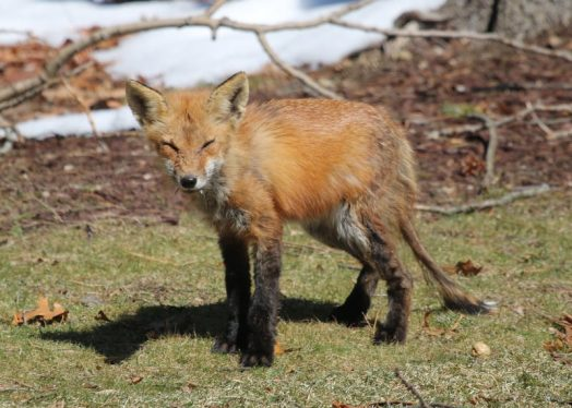 fox in wellesley