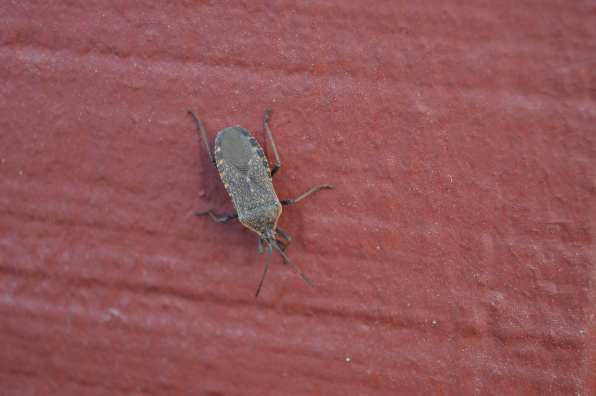 Squash bug, Wellesley