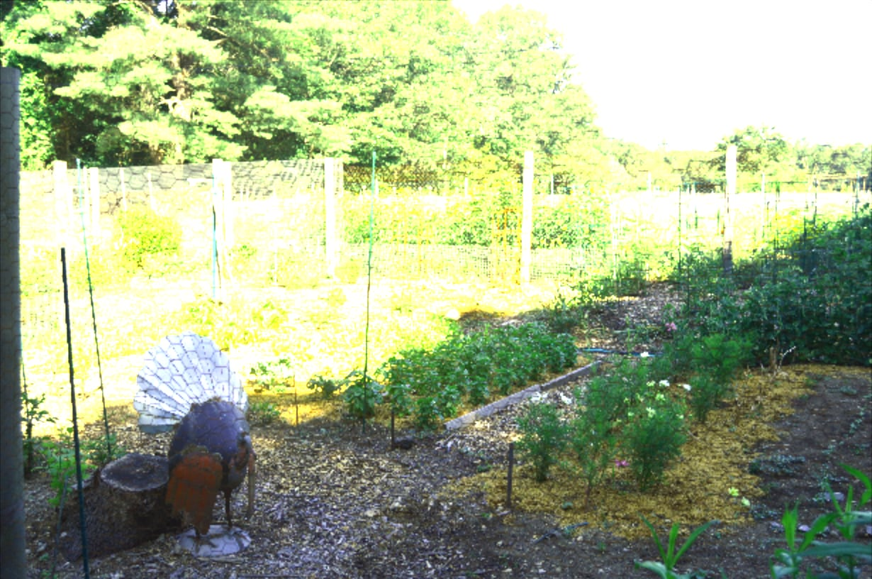turkey at weston road community gardens wellesley