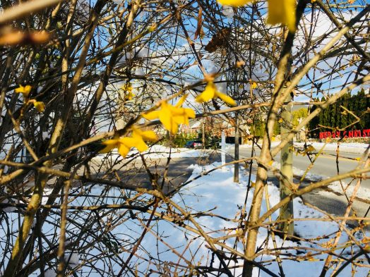 Forsythia blooming, winter