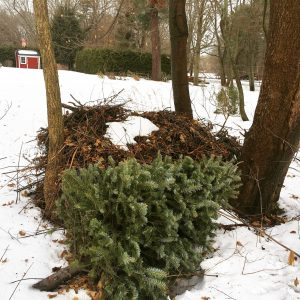 Wellesley Christmas tree by burn pile
