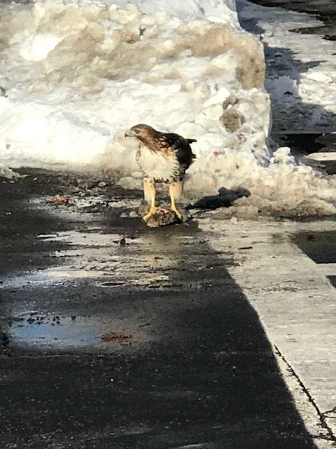 Fiske Hawk in Wellesley