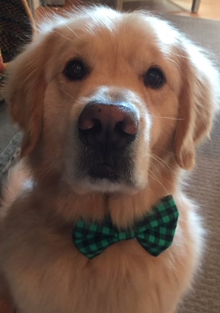 Bear, a 4-year-old golden retriever