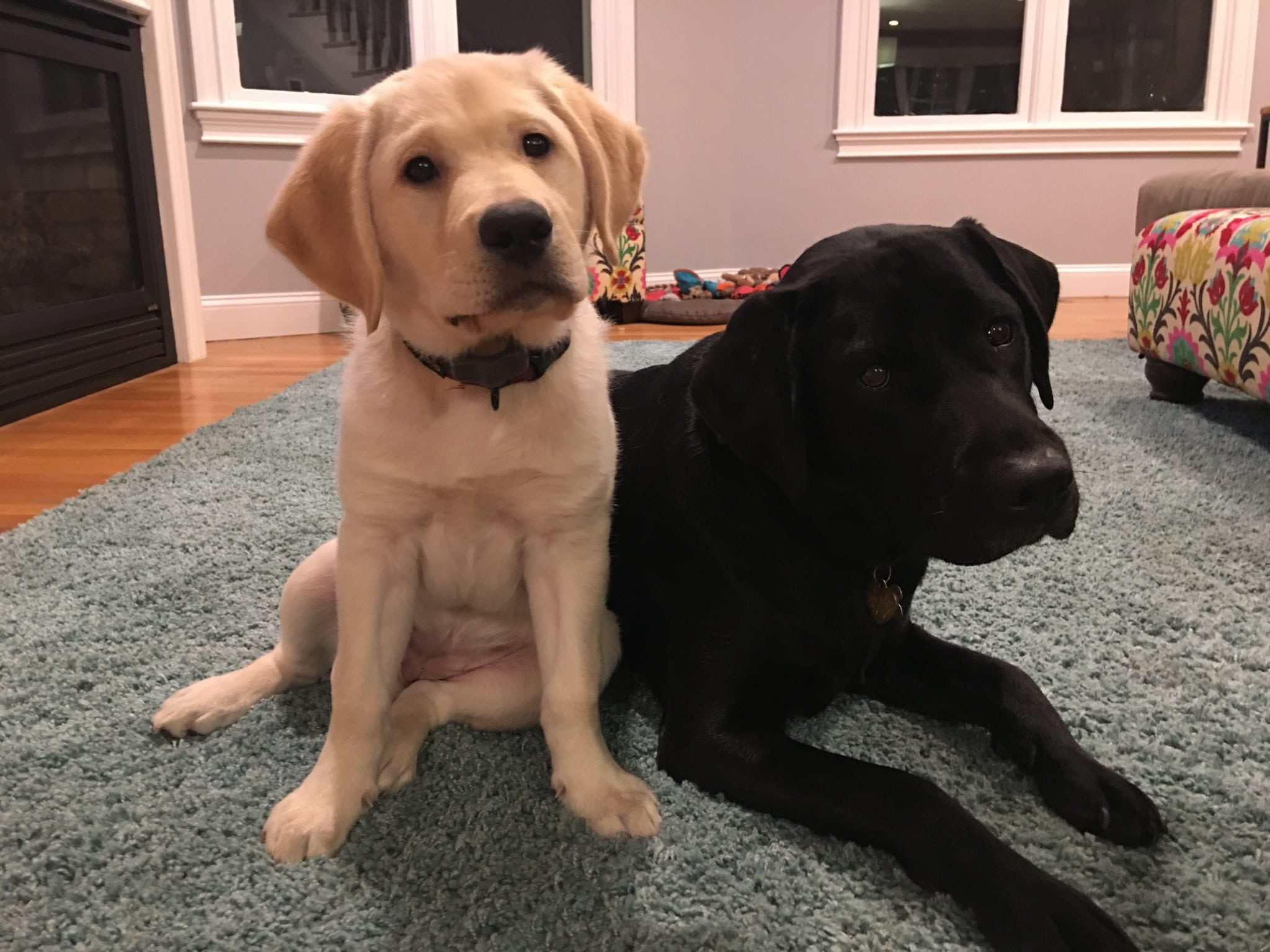 Nugget, yellow lab, and Cricket, black lab, both female