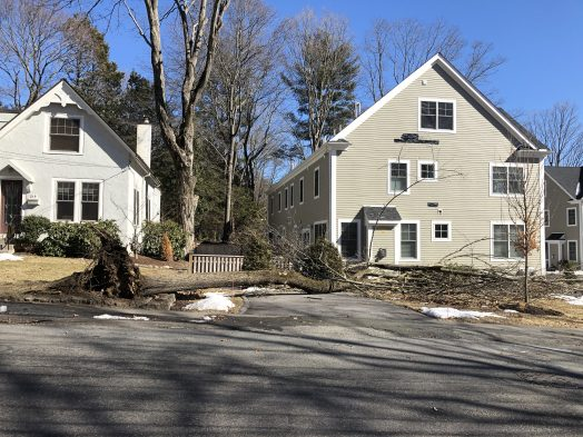 curve linden tree uprooted wellesley windstorm