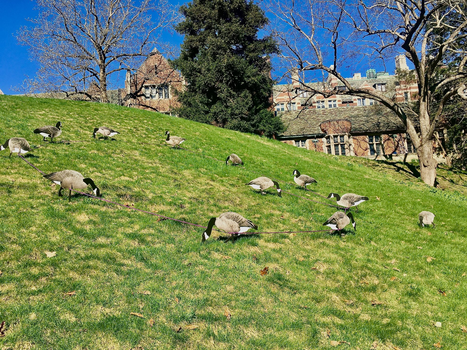Canada geese, Wellesley College