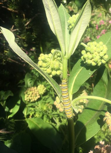 monarch butterfly caterpillar june 2019