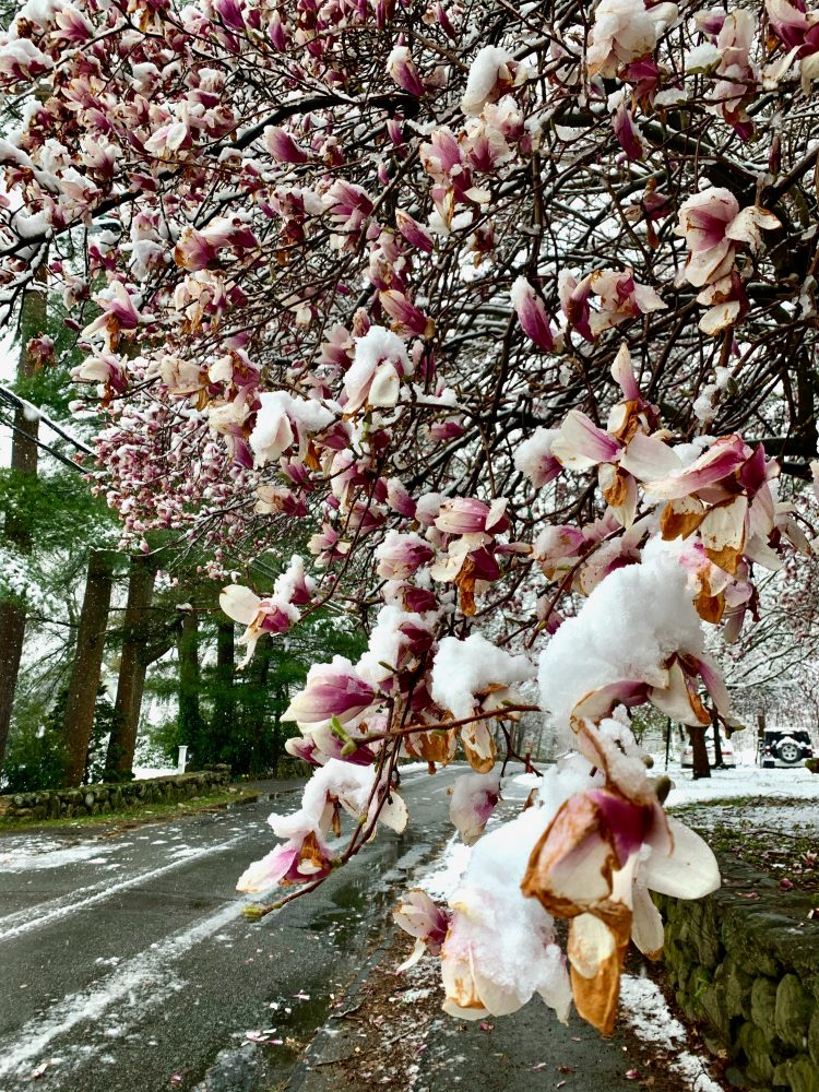 Wellesley magnolia, snowy day