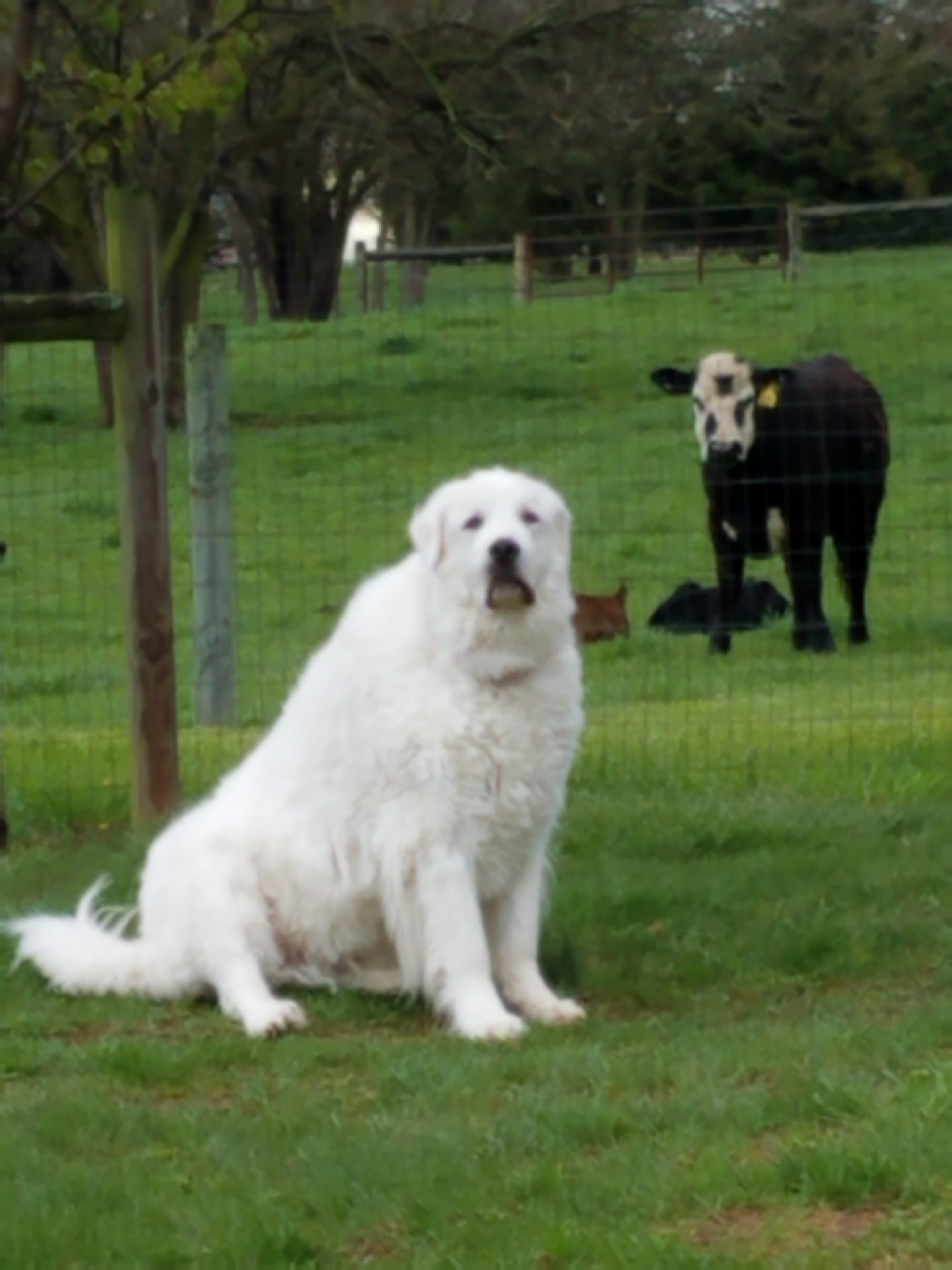 Eli: 4-yr old Great Pyrenees