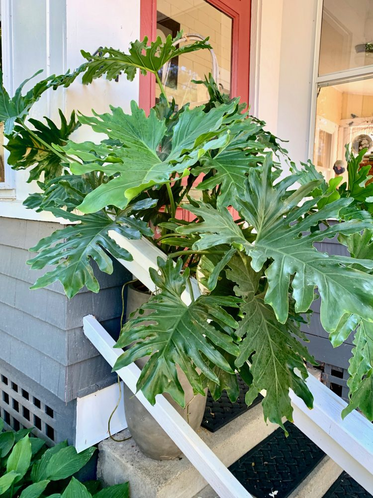 Wellesley philodendron