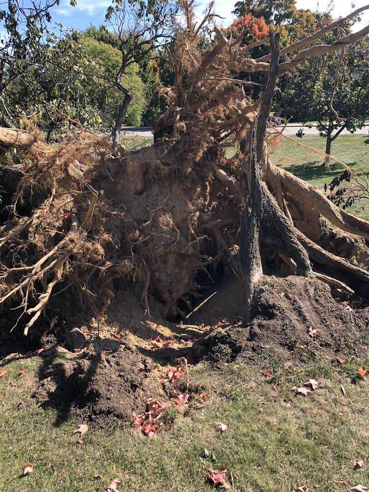 Town Hall tree down