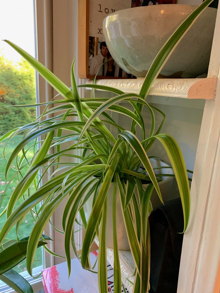 Wellesley spider plant